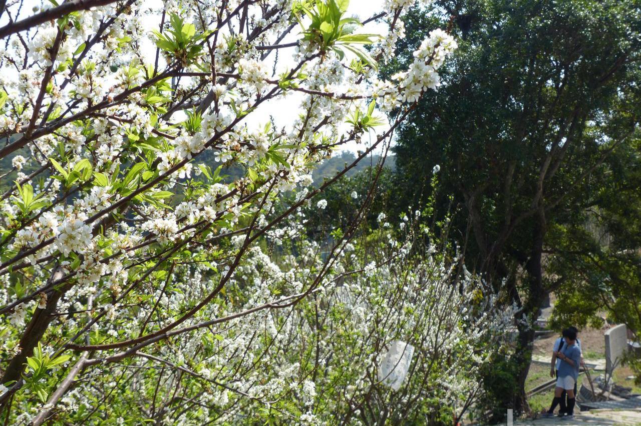 影/下雪了?彰化虎山岩李花盛開白了山頭