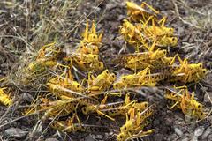 沙漠蝗或從滇藏疆入侵中國 大陸林草局發緊急防控通知