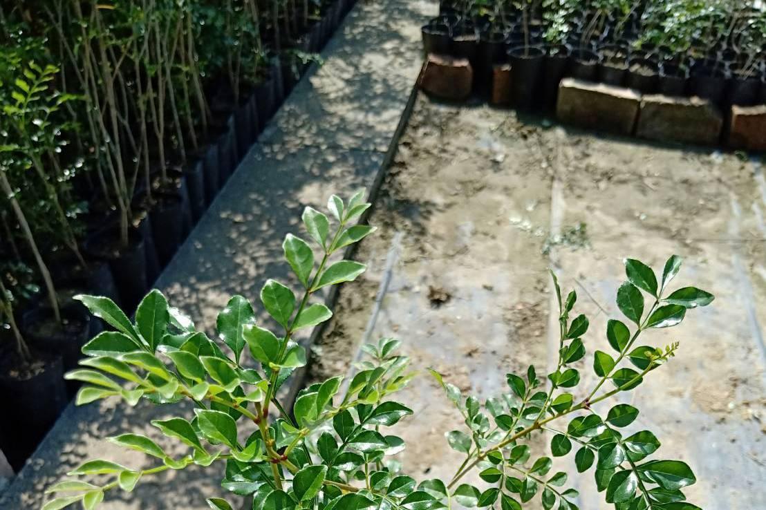 3月12日植樹節 高雄市區公所免費發樹苗