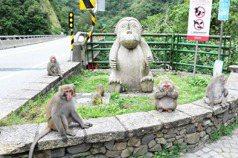 台東登仙橋獼猴胖得不像話 專家:餵猴太危險別再餵了