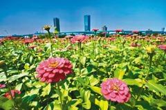 新北大都會公園 3千坪艷紅花海爆炸盛開!