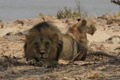 疫情嚴峻糧食快吃完!印尼動物園做最壞打算:拿鹿餵老虎、獅子