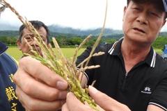未受雨彈侵襲 台東縱谷稻米「空包彈」嚴重