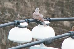 中古屋窗邊遇斑鳩築巢 網專業分析苦勸別買:又癢又煩