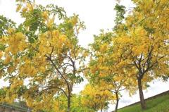 夏日限定 台84線台南大內阿勃勒黃金雨瀑超療癒