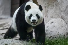 四川竹葉斷糧 旅俄熊貓改吃「凍竹」