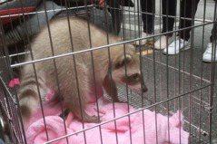 浣熊不適合飼養! 動保團體揭「洗手」萌樣背後很心酸