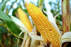 大陸採購美國玉米創單日新高 努力兌現貿易承諾