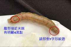 秋行軍蟲現蹤台東秧苗 專家籲強化管理