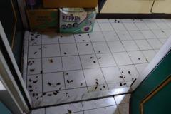 鄰居是「蟑螂養殖戶」滿地屍體 大樓管委會:沒辦法