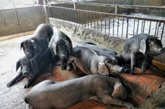 美豬開放進口引熱議 新北豬農趁勢推聽音樂的黑毛豬