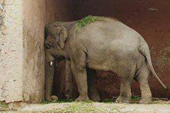 「世上最孤獨大象」終可離開動物園 受困逾35年疏忽照顧滿身傷