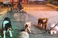 比特犬咬死貴賓犬 北市呼籲:攻擊性犬出門務必戴鍊繩