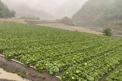 高麗菜又超種?宜蘭菜農質疑農委會為卸責超前部署