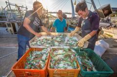 萬里蟹產季到來 新北限量販售50盒裝熟蟹禮盒