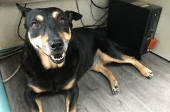 認養後又被退回 「妹妹」成為板橋動物之家最佳公關