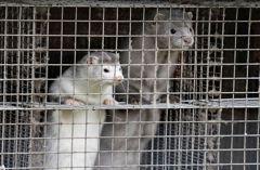 美國爆發水貂感染新冠病毒!至少1萬隻水貂死亡