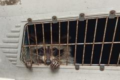 北美浣熊藏貨櫃35日「偷渡」去越南 狂食冷凍食品員工開門崩潰