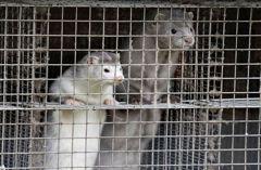 美國上萬水貂染新冠死 印尼500萬人每天僅靠30元過活