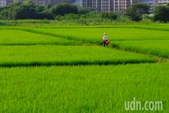 一期水稻「空包彈」 收穫保險啟動理賠逾1億元