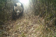 德陽大熊貓公園 入口社區開放