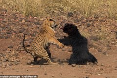 影/印度懶熊、老虎上演大對決!過程峰迴路轉驚眾人