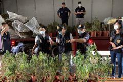 國內最大大麻種植工廠案偵結 橋檢起訴涉案3人