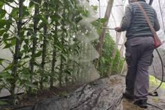 低溫來襲防寒害 果農套袋、荖葉農灑防凍液