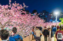 台北市區最親民櫻花地!內湖「樂活夜櫻季」1/30登場 沿岸粉色花道+星空下看電影