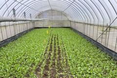 桃園農作防寒 地瓜苗蓋不織布、溫室蔬菜蓋塑膠布保溫