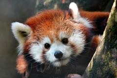 小貓熊繁殖季來了 北市動物園送新年禮家具大改造