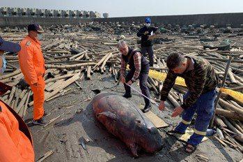 小抹香鯨擱淺死於雲林海灘 學者和救援者均不捨