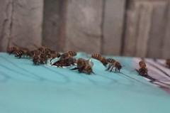 北市動物園特展 吸引「東方蜂」棲息