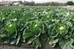 農民秋冬以來續搶種 高麗菜跌破監控價崩盤