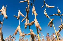油籽短缺 黃豆食用油價飆