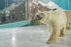 全天候觀看北極熊!大陸哈爾濱酒店遭批評剝削動物牟利