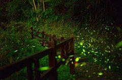 4至6月螢火蟲出沒 阿里山區10處賞螢秘境曝光