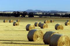 陸又卡!逾20家澳企乾草輸陸 許可證過期未得延續