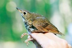 國家地理新鮮聞:北美鳥類數量銳減