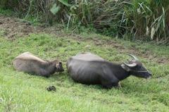 基隆成立牛結節疹疫情應變中心 明為所有牛隻注射疫苗