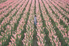 彰化最新必追秘境!一望無際的「粉色花田」免費拍 劍蘭花夢幻滿開