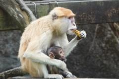北市動物園紅猴「男道」檢疫期滿 逃家時只靠榕果充飢