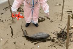 馬祖復興灘岸傳海豚悲歌 近日第4起死亡鯨豚