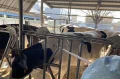 防疫病!雲林縣為2萬多頭牛注射疫苗 3天內注射90%