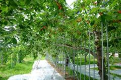 南台科大與日本姊妹校採櫻桃交流會 因疫情改線上
