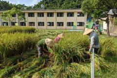 汐止穀倉重現水稻田 農會搶在颱風前採收