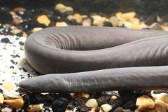 神祕物種入侵美國 「陰莖蛇」最長達1.5米 恐影響當地生態