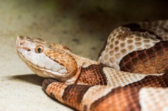 被蛇咬了一口大爆怒!男「開口反擊」 隔天被發現陳屍床上