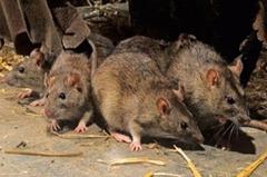 大陸寧夏銀川市確診一例輸入性鼠疫病例