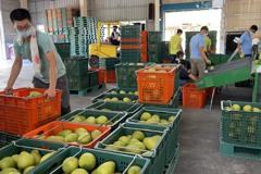 花蓮文旦柚進軍日本價格看俏 今年訂單倍增至少50公噸